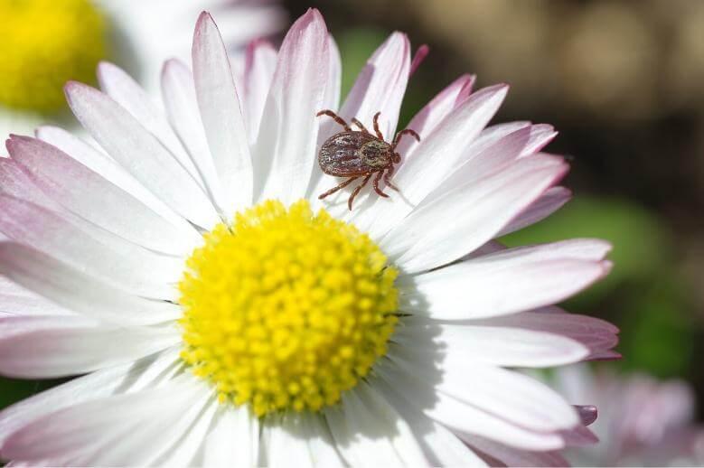 tick on a flower
