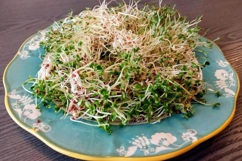 how to grow sprouts from home / green sprouts on a blue plate on a table