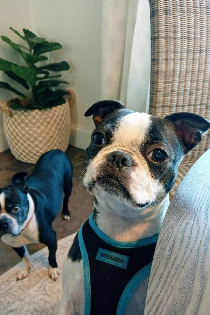 benefits of having a pet / boston terriers